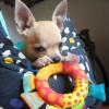 Simba Chihuahua